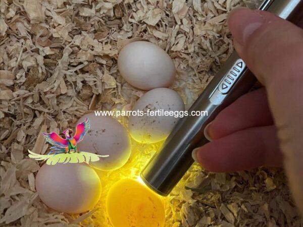 Amazon parrot eggs